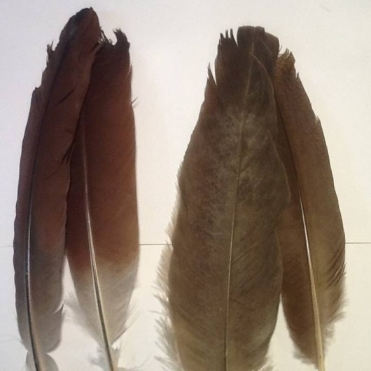 Plumes d'ailes de paonne